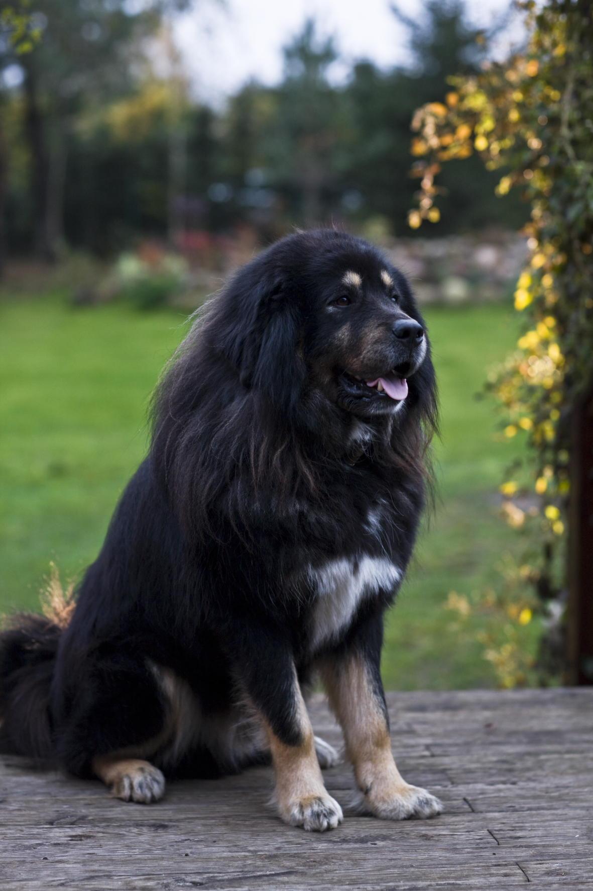 mastif-tybetanski