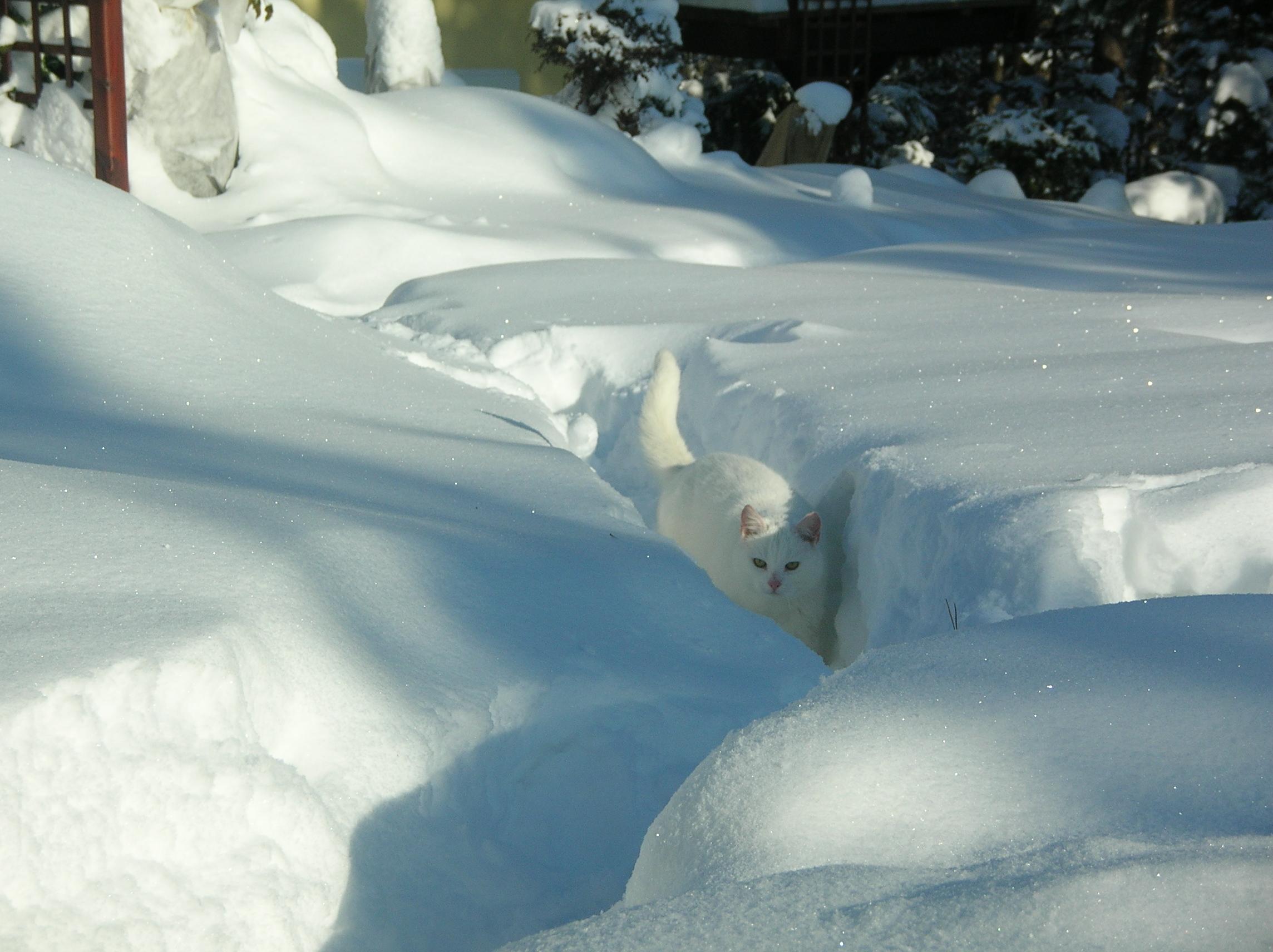 bialy-kot-zima