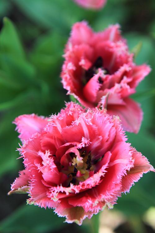 tulipany-greencanoe