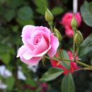 jak stworzyć ogród różany