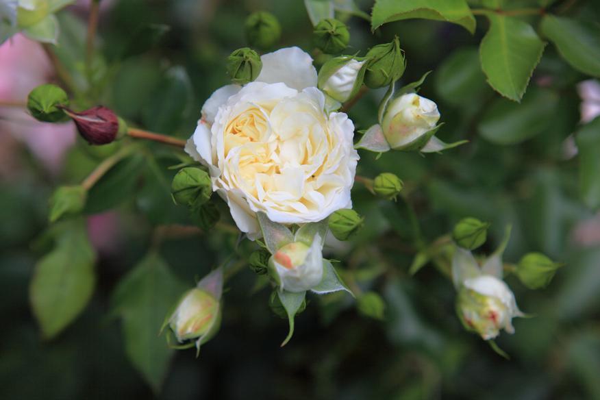 jak skomponować rabatę różaną