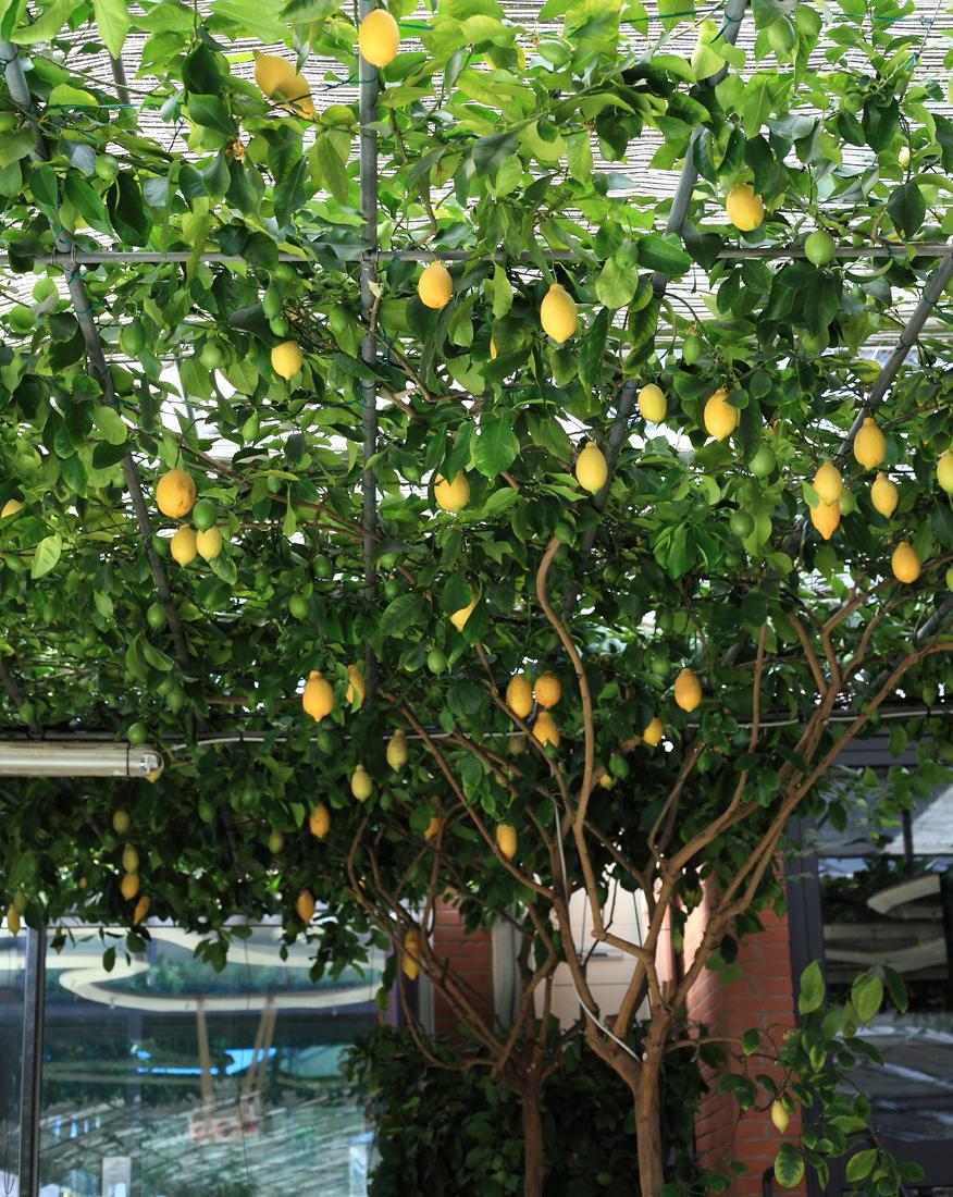 drzewo-cytrusowe