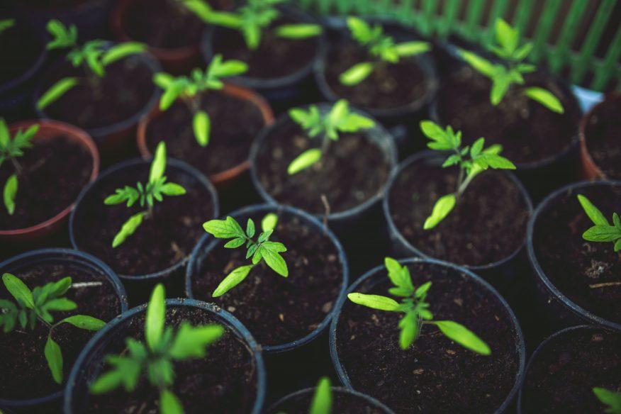 Wysiewamy rośliny Green Canoe