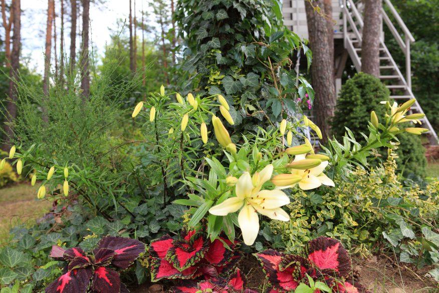 lilie ogród GREEN CANOE