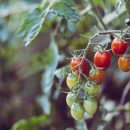 szklarnia pomidory GREEN CANOE film youtube